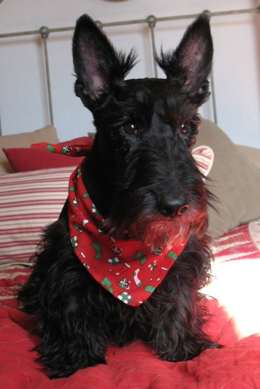 Sophie the Scottie Dog