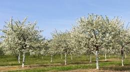 Lautenbach's Cherry Orchards, Hwy 42, Door County, WI