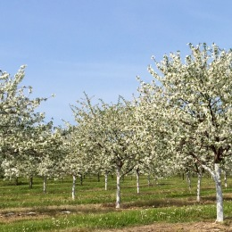 Lautenbach's Cherry Orchards, Hwy 42, Door County, WI