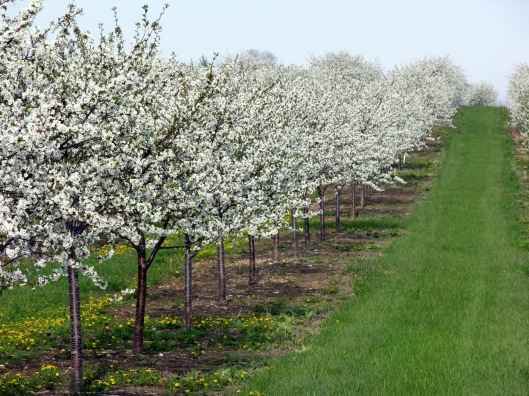 Cherry orchards of Door County