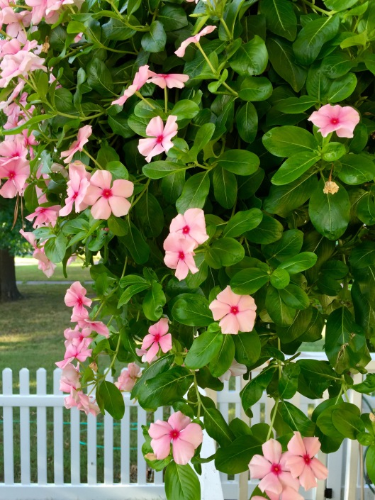 Pink Periwinkles and Picket Fences