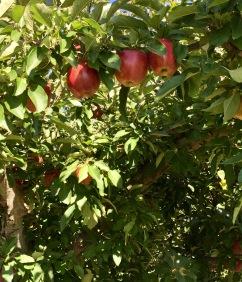Door apples
