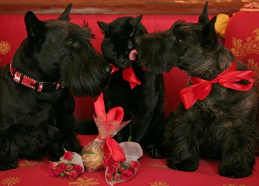 Bush Scotties