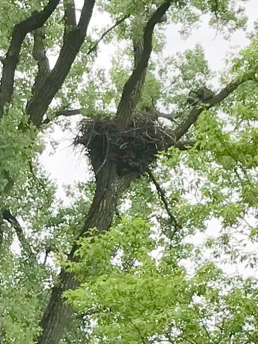Eagle nest, Decorah, Iowa